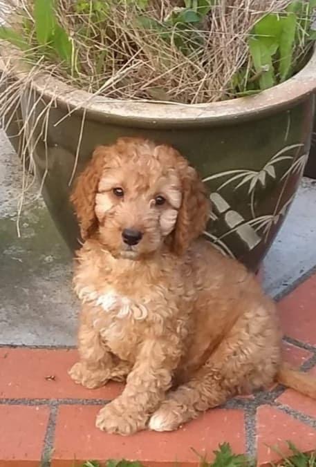 Puppy Teddy - aspire hair salon staff